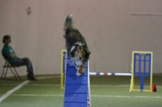 How A Dog Uses Her Tail in Agility and Other Canine Sports