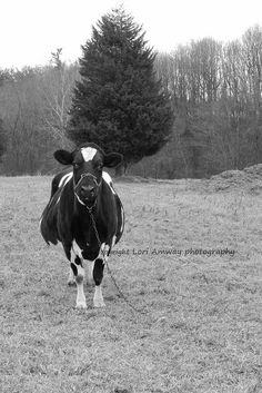 17 year old cow