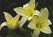 """Plants: Daylily """"Ice Carnival"""""""