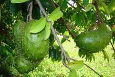 I'm skeptical, but just in case: CANCER KILLER – Natural Cancer Cell Killer Times Stronger Than Chemo! The Sour Sop or the fruit from the graviola tree is a miraculous natural cancer cell killer times stronger than Chemo. Health And Beauty, Health And Wellness, Health Tips, Health Benefits, Natural Medicine, Herbal Medicine, Natural Cures, Natural Healing, Cancer Cure