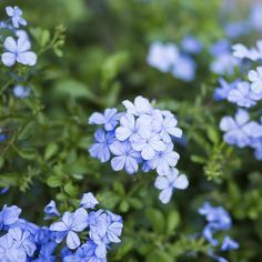 Small bouquet-like clusters of light violet-blue flowers arrive in early summer to brighten the long, warm days. An energetic climbing shrub, with glossy green two inch leaves that contrast the flowers. Back Gardens, Outdoor Gardens, Blue Plumbago, Flower Garden Plans, Flowers Garden, Garden Ideas, Blue Garden, Dream Garden, Small Bouquet
