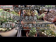 #131{多肉植物 Succulent}9月の多肉事☆百均グッツの寄せ植えの今の様子や胴切りした多肉の発芽、肥料を入れて植え替えたパープルヘイズ、多肉置き場所問題に取り組んでます。 - YouTube Succulent Care, Planting Succulents, Cactus, Channel, Summer, Plants, Youtube, Summer Time, Plant