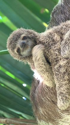 Baby Animals Super Cute, Cute Funny Animals, Cute Dogs, Cute Baby Sloths, Cute Sloth, Baby Otters, Sloth Photos, Three Toed Sloth, Fluffy Cows