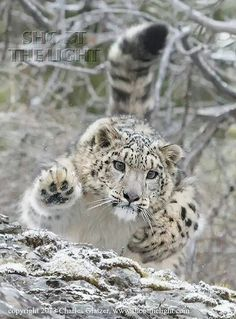 """""""Snow leopard"""" by Charles Glatzer. The snow leopard is a large cat native to the mountain ranges of Central and South Asia. It is listed as endangered. Pretty Cats, Beautiful Cats, Animals Beautiful, Big Cats, Cool Cats, Cats And Kittens, Siamese Cats, Chat Lion, Animals And Pets"""