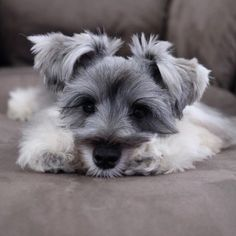 Ranked as one of the most popular dog breeds in the world, the Miniature Schnauzer is a cute little square faced furry coat. It is among the top twenty favorite Miniature Schnauzer Puppies, Schnauzer Puppy, Schnauzers, Cute Puppies, Cute Dogs, Dogs And Puppies, Doggies, Animals Beautiful, Cute Animals