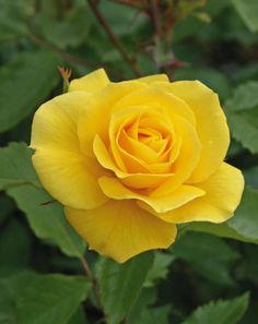 Sunsprite rose has oval buds that open into double, ruffled yellow saucer-shaped flowersabout three inches across. The bright yellow flower clusters are intensely fragrant with a scent of licorice or spicy sweet.