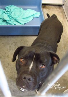 A4867995 My name is Creeps. I am a very friendly 4 yr old male black/white pit bull mix. My family left me here on August 18. available now. located in bldg 4 - no public view NOTE: Pit bulls are not kept as long as others so those dogs are always urgent!! Baldwin Park shelter https://www.facebook.com/photo.php?fbid=1018249208186916&set=a.705235432821630&type=3&theater