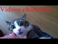 Talking tom gracioso (whatsapp) - YouTube Big Cats, Cool Cats, I Love Cats, Hate Cats, The Funny, Funny Cute, Hilarious, Funny Cat Compilation, Funny Cat Videos