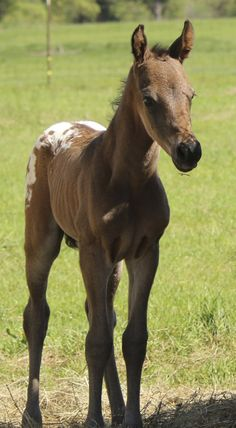See You In Hollywood (Tiberius BP AHA x Sunset Dreams ApHC) 2013 filly dream-catcher-ranch.net now owned by Conway Arabians