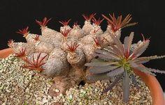 Euphorbia crispa