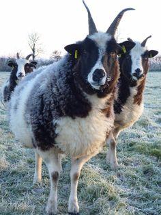 Jacob sheep