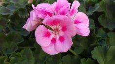 Rocky Mountain Light Pink Geraniums are so beautiful with the two-tones in each petal.