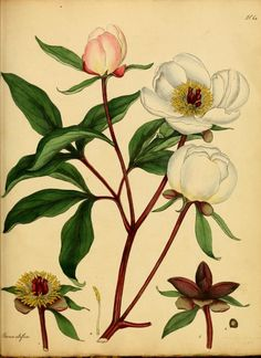 Paeonia albiflora. The botanist's repository, for new, and rare plants v.1-2 (1797). London :Printed by T. Bensley, and published by the author ... :1797-[1815] Biodiversitylibrary. Biodivlibrary. BHL. Biodiversity Heritage Library