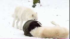 femme qui joue avec des loups blancs loup animal sauvage Image, animated GIF