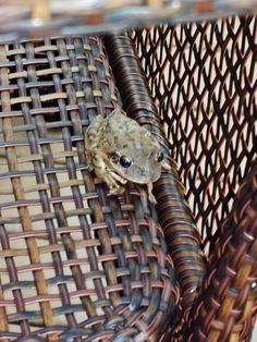 ♥ the sound of the tree frogs at night - this one joined us for lunch