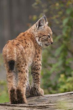Iberian lynx (Iberische lynx) by Brigitte / dier-en-fotografie.nl on Flickr.