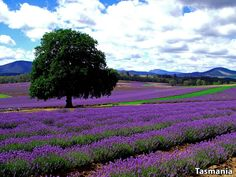 Did you know that the largest privately owned lavender farm in the world is located in Tasmania? #travelagentsknow