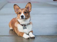 Custom Pet ID Tag, Dog ID Tag, Cut ID Tag, Sturdy Brass Id Tag, Personalized Name Tag, Custom Dog Collar Tag, Puppy Name Tag, Copper Dog Tag Dog Id Tags, Pet Tags, Dog Collar Tags, Custom Dog Collars, Puppy Names, Dog Safety, Buy Pets, Pet Id, Service Dogs