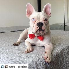 #Repost @ramon_frenchie with @repostapp.  Com minha gravatinha para Natal  Amei @mundo.petit  Obrigado pela notinha titia Talyta  #ramonfrenchie #soupetit #bulldogfrances #frenchie #frenchies1 #frenchbulldog #frenchielover #frenchiesofinstagram #dog #deafdog #doglover #deafdogsrock #dogsofinstagram #deafdogsofinstagram #instadog #ig_bullys #instafrenchie #LOVEABULLY #lacyandpaws #pawsandpaws #perfectdog #flatnosedogsociety #handsomedog #cute #followme #thefrenchiepost #theworldofbullies…