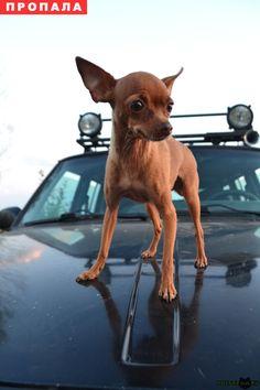 Пропала собака той-терьер, девочка г.Тула http://poiskzoo.ru/board/read25317.html  POISKZOO.RU/25317 ПРОПАЛА СОБАКА Потерялся той-терьер, девочка, в районе посёлка Рождественский (дачи) и села Семёновка; пропала ... примерно в .. часов. Есть клеймо на задней правой лапе. Нуждается в специальном питании и лечении. Тем кто что-либо знает - просьба звонить по телефонам: ..., ... Пожалуйста помогите вернуть любимого члена семьи! Нашедшему вознаграждение!   РЕПОСТ! @POISKZOO2 #POISKZOO.RU…