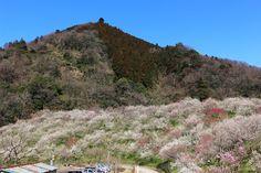 木下沢梅園全景 | 丘一面に梅が咲きとてもきれいです。ここから高尾まであちこちに梅が咲いていて、程よいウォーキングが楽しめます。