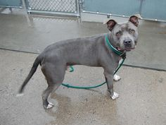 TO BE DESTROYED - 02\/19\/15 Brooklyn Center -p My name is BARACK. My Animal ID # is A0837671. I am a neutered male gray and white pit bull mix. The shelter thinks I am about 6 YEARS old. I came in the shelter as a OWNER SUR on 02\/11\/2015 from NY 11434 owner surrender reason stated was PERS PRO .