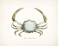 Blue Crab Vintage Etching Natural History Beach Style Wall Decor Print No. 1 10x8. $15.00, via Etsy.
