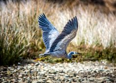 This heron was getting fed-up of me stalking him all over the inlet ;-)