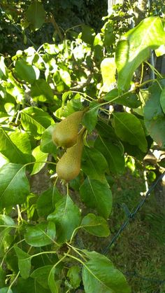 Our Pear Tree