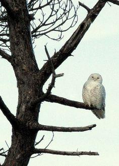 Snowy owl ~ Odiorne Point