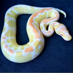 Albino Clown ball py