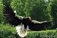 Riesenseeadler beim Freiflug (c) Greifvogelzentrum, M.Kruschik