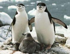 Pingüino barbijo/ cara marcada,
