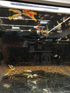At my local Walmart; Over half of the fish are dead