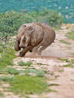 Africa | Road Rage ... White Rhinos, photographed in Okahandja, Otjozondjupa, Namibia |  © Kit Wilde, via Flickr