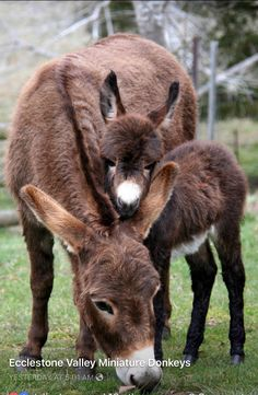 Baby Donkey, Cute Donkey, Baby Cows, Cute Little Animals, Cute Funny Animals, Beautiful Horses, Animals Beautiful, Barnyard Animals, Mundo Animal