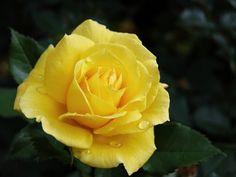 613 Melhores Imagens De Rosas Amarelas Em 2019 Yellow Roses