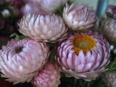 #Blumengesichter: Strohblumen Foto © Danièle Brown