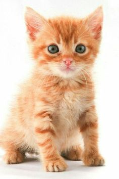 Puppies And Kitties, Cute Cats And Kittens, Kittens Cutest, Orange And White Cat, White Cats, Orange Tabby Cats, Red Cat, Pretty Cats, Beautiful Cats