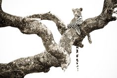 Leopard in Marula by Riaan Fourie on 500px