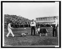 Most likely taken either November 1926 or November 1929 at Thompson Field in Annapolis, Maryland on the campus of the Naval Academy featuring Hoya, the Georgetown University mascot, and the Naval Academy goat. Goat Football, Navy Football, Georgetown University, Naval Academy, Army & Navy, Goats, Dolores Park, United States