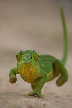 Chameleon by Colin Lagerwall on 500px Isn't he a cutie lol