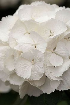 Hydrangea macrophylla 'Snowball'- Flickr - Photo Sharing!