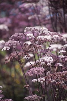 chocolate queen anne's lace