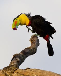 The Keel-billed Toucan, also known as Sulfur-breasted Toucan or Rainbow-billed Toucan, is a colorful Latin American member of the toucan family. It is the national bird of Belize