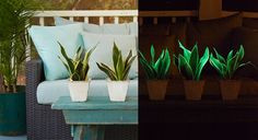 photo of Glowee courtesy of Costa Farms, left image in daylight, right image in dark to illustrate glow