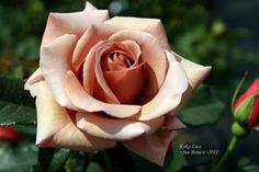 Image result for koko loko rose