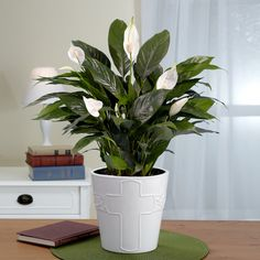 Indoor House Plants Online Plant Nursery India Pinterest And