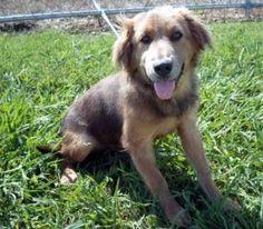 Princess Polly - Golden/German Shepherd Dog