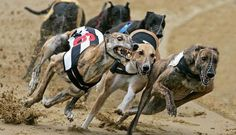 These are lives, not commodities. The greyhound's natural speed and graceful nature means that they are the perfect dog for racing. Unique Dog Breeds, Rare Dog Breeds, Popular Dog Breeds, Racing Dogs, The Perfect Dog, Purebred Dogs, Types Of Dogs, Funny Dog Pictures, Animals Of The World